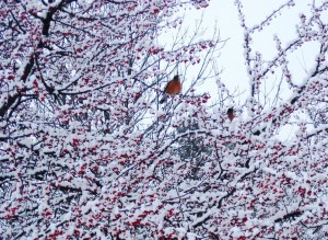 Birds and Berries in Snow