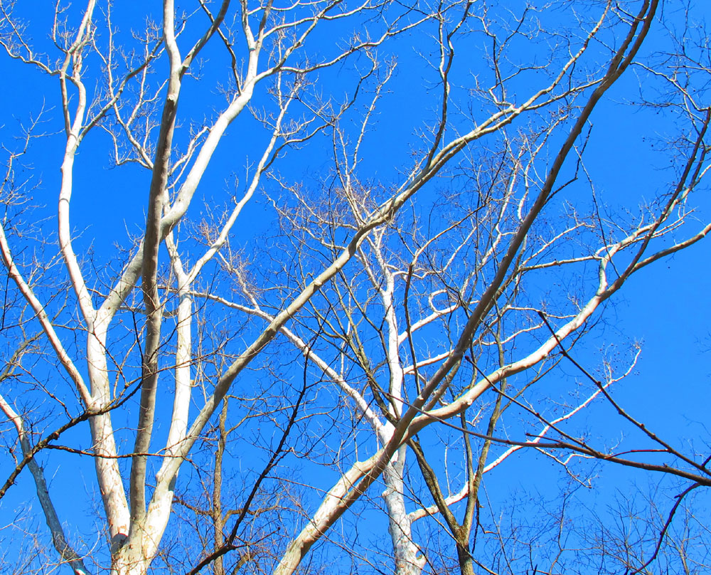 White branches against blue sky